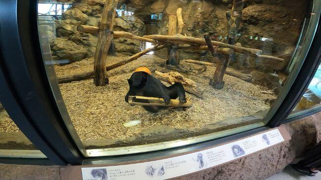 円山動物園のマレーグマの画像