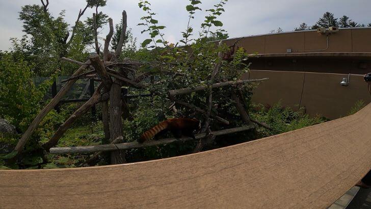 円山動物園のレッサーパンダの画像