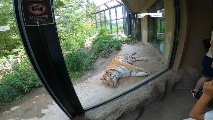 円山動物園のトラの画像