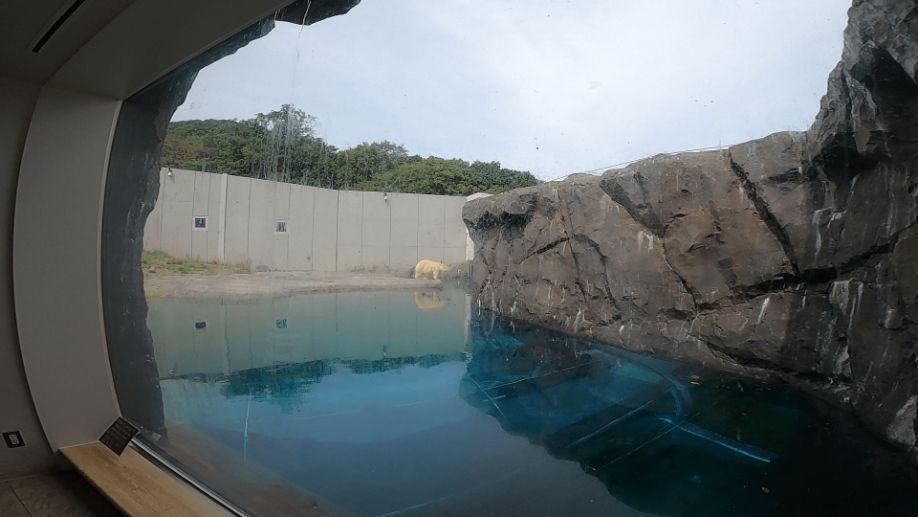 円山動物園のシロクマの画像